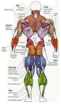 Major muscles on the front of the body yoga pain management human muscle diagram ccuart Images