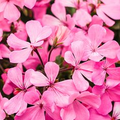 Is there anything cheerier than a window box overflowing with low-maintenance geranium?