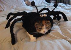 蜘蛛の衣装を着た猫
