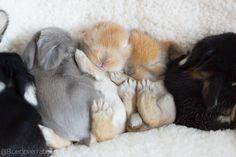 Blue Clover Rabbitry Bunnies
