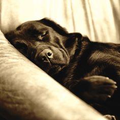 Villager Jim 's snoozing Labrador!
