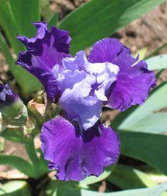 IB Iris germanica 'Royal Quackers' (Kasperek, 1989)