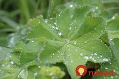 Toto by mala na jar poznať každá žena po 40-tke: Tieto listy máte na záhrade úplne zdarma, ale ich účinky sú ohromné - len zalejte vodou!