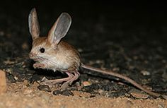 Pygmy Jerboa This little hopping long-eared pygmy jerboa is from Bluchistan, Pakistan and may be the world's smallest rodent. idk rodents could be soooo cute! Long Eared Jerboa, Kangaroo Rat, Interesting Animals, Ceramic Animals, Rodents, Endangered Species, North Africa, Fantastic Beasts, Long Legs