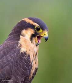 Aplomado falcon - the face he's making cracks me up!