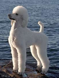 Pretty Poodle - (I like this poodle look! I like the absence of a pom-pom on tail and the head is rounded into the ears like a Bichon).
