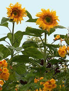 "Sunflower 'Mammoth'  ""Giant Sunflower"""