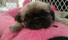 This is our Pugzu Penelope. Her mom is a Shih-Tzu . Her dad is a pug Pug Zu, Shih Tzu Mix, Mixed Breed, Puppys, Wolves, This Is Us, Cute Animals, Dads, Mom