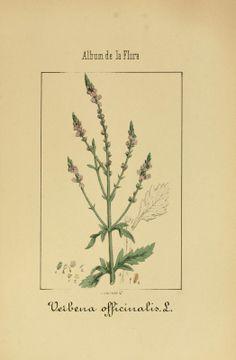 3 - l'album de Medical-Pharmaceutical flore et industriel, Indigènes et exotiques, - Biodiversity Heritage Library VERBENA OFFICINALIS