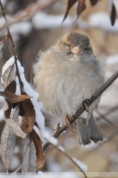 Female English sparrow (Passer domesticus) in winter. Birds can look quite 'chubby' in winter and be starving. Birds fluff up their feathers to keep warm. Pretty Birds, Love Birds, Beautiful Birds, Animals Beautiful, Cute Animals, Animals Amazing, Pretty Animals, Beautiful Things, Fat Bird