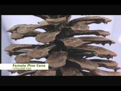 Nature Notes Female and Male Pine Cones - Longleaf Pine wk 8