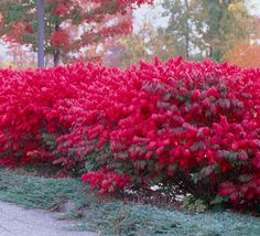 One of the Most Colorful Shrubs Ever Developed - Flame red is the best seller for fall color. The fiery autumn foliage of the Burning Bush makes it an excellent landscape plant... and it really draws attention when planted in rows. In summer, the cooling blue-green colored leaves are welcoming and lush. Planted as a hedge, they can...