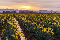 "Mike Reid ""Yellow Crowns of Springs Dusk Creation"" March Best Road Mike Reid, March 7, Photo Contest, Daffodils, Dusk, Spring Time, Board, Outdoor, Outdoors"