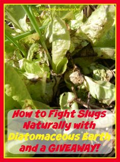 How to Fight Slugs Naturally with Diatomaceous Earth and a GREAT GIVEAWAY! Check it out!