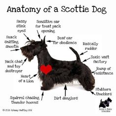 #scottiesofinstagram #scotties #scottishterrier #scottishterriersofinstagram I Love Dogs, Puppy Love, Cute Dogs, Terrier Dogs, Bull Terriers, Dog Quotes, Dog Life, Animals And Pets, Baby Animals