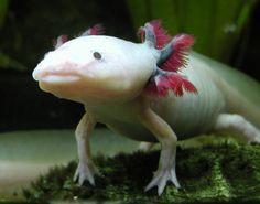 Inspiration pour phase du boss (axolotl).