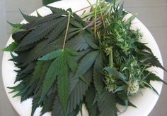 Cannabis The Most Important Vegetable on the Planet