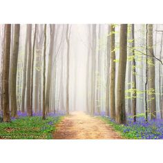 There's A Mystical Forest In Belgium All Carpeted With Bluebell... ❤ liked on Polyvore featuring backgrounds