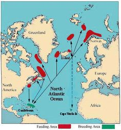 Map of Migration Paths (humpback whales) Whale Migration, Well Trained Mind, Animal Movement, Save The Whales, Animal Adaptations, Ocean Creatures, Humpback Whale, Atlantic Ocean, Habitats