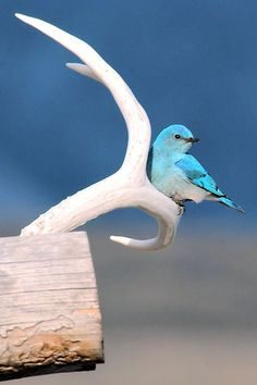 Mr. Blue Bird on my antler, it's the truth, it's actual, everything is satisfactual!  Zippety Do Da
