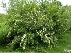 My Elderberry bush is a vision of what is soon to become jars of ...