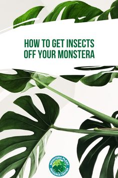 Is your monstera plagued by household pests? Here's how to identify and get those insects off your monstera before they wreak havoc on your plant! Ficus Elastica, Tree Wallpaper Iphone, Plant Wallpaper, Plant Images, Plant Pictures, Green Pictures, Oxalis Triangularis, Fern Plant, Monstera Deliciosa