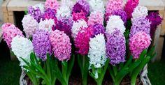 NEXT Flowers Garden, Cut Flowers, Spring Flowers, Planting Flowers, Beautiful Flowers, Fruit Garden, Beautiful Pictures, Hyacinth Plant, Hyacinth Flowers