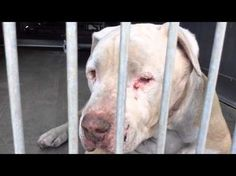 Neglected gentle giant Mastiff stray at San Bernardino City Shelter depressed ** For more information about rescuing or adopting a new four-legged friend: San Bernardino City Animal Control at (909) 384-1304 Ask for information about animal ID number A464009 with Debra Ainsworth at San Bernardino City Shelter - Phone: 909-384-1304, Address: 333 Chandler Pl., San Bernardino, CA 92408.