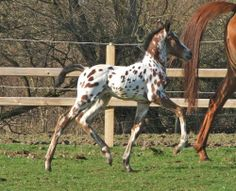 Appaloosa Horses | Spotty filly foal - Horse and Hound Forums