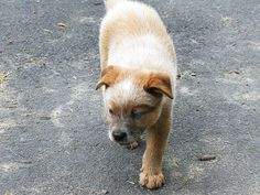 Red Male Australian Cattle Dog pup I almost took home.