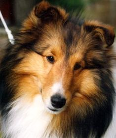 Romyldale Shelties - wonderful breeder that I have gotten a puppy from