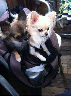 It's more fun together! #dogs #pets #Chihuahuas Facebook.com/sodoggonefunny