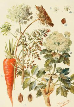 Umbelliferae from Encyclopaedic Dictionary, 1902