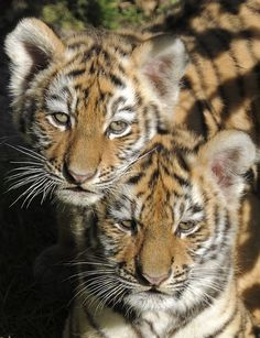 Two still-nameless Amur tiger twin cubs (Panthera tigris altaica) walk in their enclosure in the Leipzig Zoo in Leipzig, central Germany Sunday, Sept. 30, 2012. (AP Photo/Jens Meyer)