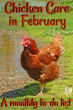 Chicken care in February: find the top 20 monthly to-dos to keep your flock safe, healthy and happy in this late winter month. Chicken Ladder, Chicken To Go, Best Chicken Coop, Backyard Chicken Coops, Building A Chicken Coop, Chicken Feed, Chicken Runs, Chicken Treats, Types Of Chickens