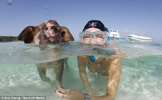 The happy pigs that swim on the shores of pig island - bahamas