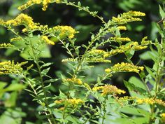 The goldenrod is the last flower of the season that bees can use to make honey.