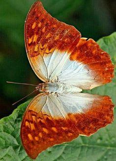 Different Types of Butterflies Papillon Butterfly, Butterfly Gif, Butterfly Background, Butterfly Drawing, Butterfly Pictures, Butterfly Painting, Butterfly Wallpaper, Butterfly Kisses, Types Of Butterflies