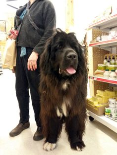 This big beautiful Newfoundland dog is Reba. She's almost the size of a Shetland pony! What a fun canine customer at The Cheshire Horse in Swanzey, NH.