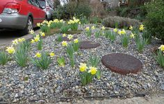 15 Mar 2013. Car doors haven't managed to wipe out all the mini daffodils yet...