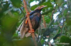 Semioptera wallacii / Ave-del-paraíso de Wallace/ Standardwing Bird-of-paradise / Paradisier de Wallace/ Bänderparadiesvogel