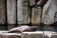 No co koukáte? To se jako lachtan nemůže opalovat? 😎 Lachtan jihoafrický (Arctocephalus pusillus) - Zoo Praha ℹ️ Má zřetelné ušní boltce a dovede podsunout zadní nohy pod tělo, takže se i na souši pohybuje celkem obratně. Kromě toho mají lachtani sice krátký, nicméně zřetelně vyvinutý ocas. Lachtani, tuleni a mroži patří mezi ploutvonožce, což jsou vlastně šelmy přizpůsobené k životu ve vodě. Zadržují v krvi kyslík a dovedou s ním ve vodě šetřit. Dech zadrží i na půl hodiny. Plavou i v… Animals, Instagram, Animales, Animaux, Animal, Animais