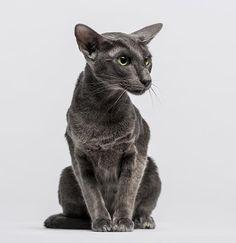 The Oriental Shorthair Cat.. i think addie needs a friend
