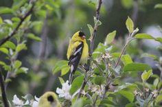 Male Yellow Finch Portland