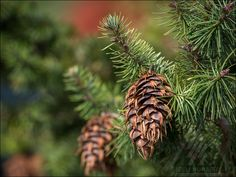Pseudotsuga menziesii 'Waggin' Tails' - Last years cones add a nice ornamentation to this unique garden tree.