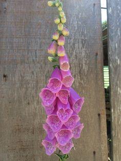 Foxglove My Secret Garden, Flowers, How To Make, Royal Icing Flowers, Flower, Florals, Bloemen, Floral, Blossoms