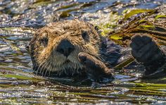 Sea otter wants to play patty cake - May 23, 2015