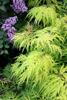 Lacy chartreuse foliage shine on cold-hardy, native Lemony Lace™ elderberry (Sambucus racemosa).