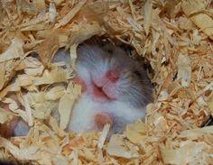 Pictures-of-Cute-Hamster-2.jpg 600×467 pixels