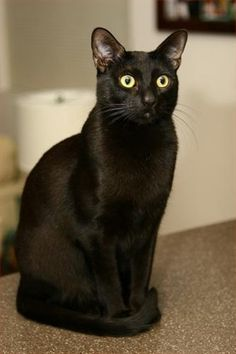 Bombay cat - Breed Profile:    Origin: USA  Colors: Black  Size: Medium  Coat Type(s): Shorthair  Grooming: Little  Talkativeness: Vocal  Activity Level: High  Attention Requirement: High  Overall: Moderately docile